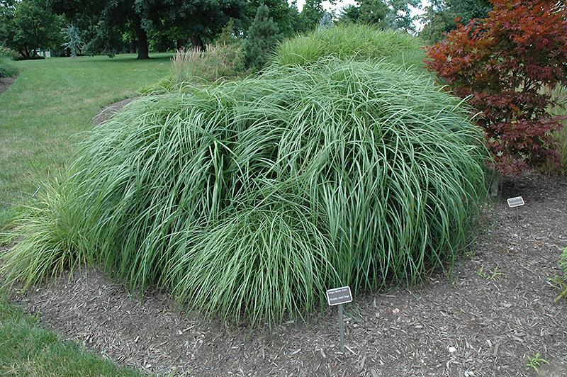 Adagio Maiden Grass Miscanthus Sinensis 39 Adagio 39 In Cedar Rapids Hiawatha Iowa City Waterloo