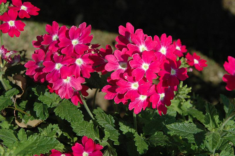 Lanai Upright Rose With Eye Verbena Verbena Lanai Upright Rose