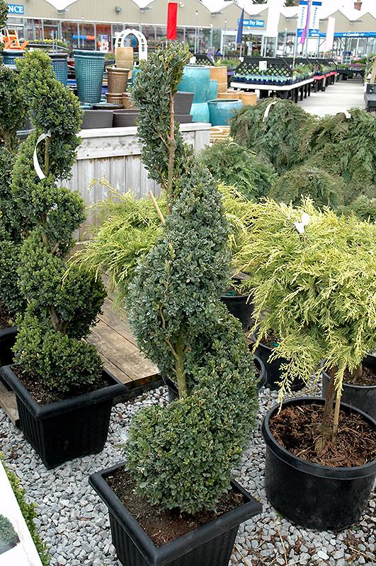 Green Mountain Boxwood Spiral Form Buxus In Cedar Rapids Hiawatha Iowa City Waterloo Ia At Peck S Thumb Nursery