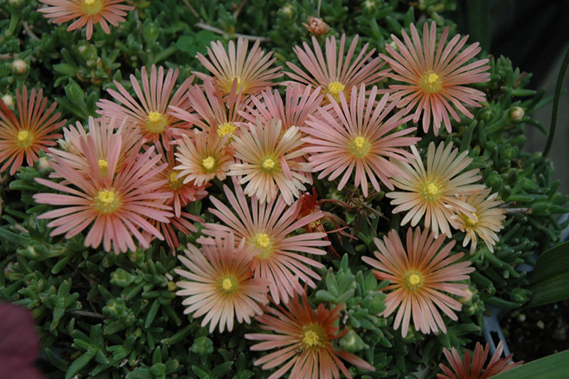 Fire Spinner Ice Plant Deloa At Peck S Green Thumb Nursery