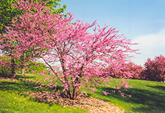 Northern Strain Redbud (Cercis canadensis 'Northern Strain') at Peck's Green Thumb Nursery