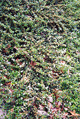 Spreading Cotoneaster (Cotoneaster divaricatus) at Peck's Green Thumb Nursery
