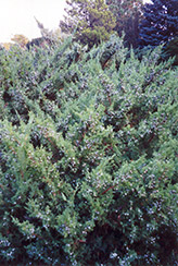 Maney Juniper (Juniperus chinensis 'Maney') at Peck's Green Thumb Nursery