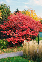 Shadblow Serviceberry (Amelanchier canadensis) at Peck's Green Thumb Nursery