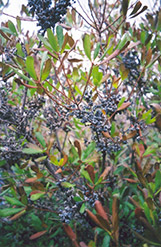 Northern Bayberry (Myrica pensylvanica) at Peck's Green Thumb Nursery