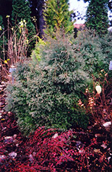 Heatherbun Whitecedar (Chamaecyparis thyoides 'Heatherbun') at Peck's Green Thumb Nursery