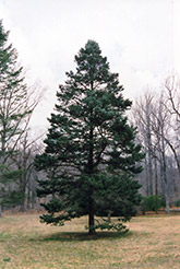 Rocky Mountain Douglas Fir (Pseudotsuga menziesii 'var. glauca') at Peck's Green Thumb Nursery