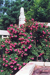William Baffin Rose (Rosa 'William Baffin') at Peck's Green Thumb Nursery