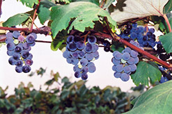 Concord Grape (Vitis 'Concord') at Peck's Green Thumb Nursery