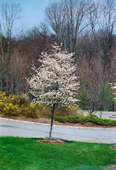 Cumulus Serviceberry (Amelanchier laevis 'Cumulus') at Peck's Green Thumb Nursery