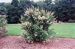 Cheyenne Common Privet (Ligustrum vulgare 'Cheyenne') at Peck's Green Thumb Nursery