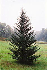Fraser Fir (Abies fraseri) at Peck's Green Thumb Nursery