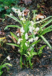 White Spring Squills (Scilla sibirica 'Alba') at Peck's Green Thumb Nursery
