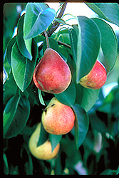Summercrisp Pear (Pyrus 'Summercrisp') at Peck's Green Thumb Nursery