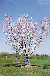 Moongold Apricot (Prunus 'Moongold') at Peck's Green Thumb Nursery