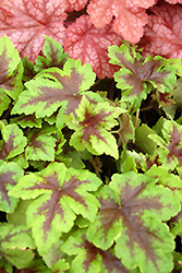 Neon Lights Foamflower (Tiarella 'Neon Lights') at Peck's Green Thumb Nursery