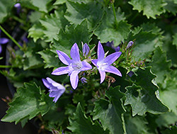 Blue Waterfall Serbian Bellflower (Campanula poscharskyana 'Blue Waterfall') at Peck's Green Thumb Nursery