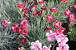 Rosish One Pinks (Dianthus 'Rosish One') at Peck's Green Thumb Nursery