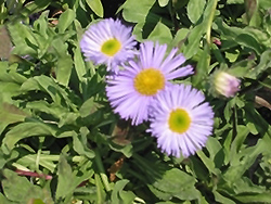 Sea Breeze Fleabane (Erigeron speciosus 'Sea Breeze') at Peck's Green Thumb Nursery