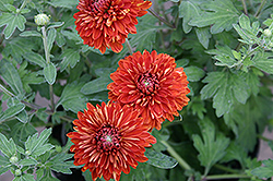 Minnautumn Chrysanthemum (Chrysanthemum 'Minnautumn') at Peck's Green Thumb Nursery
