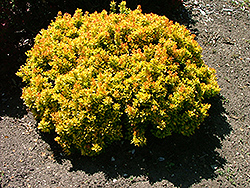 24 Karat Gold Dwarf Barberry (Berberis thunbergii '24Kagozam') at Peck's Green Thumb Nursery