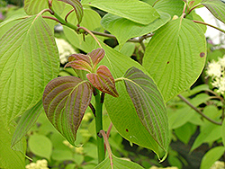 Pistachio Pagoda Dogwood (Cornus alternifolia 'Piszam') at Peck's Green Thumb Nursery
