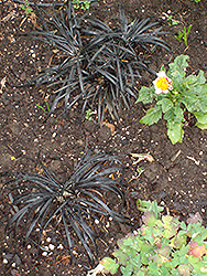 Ebony Knight Mondo Grass (Ophiopogon planiscapus 'Ebknizam') at Peck's Green Thumb Nursery