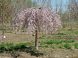 Pink Snow Showers Weeping Cherry (Prunus 'Pisnshzam') at Peck's Green Thumb Nursery