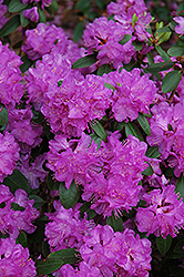 Compact P.J.M. Rhododendron (Rhododendron 'P.J.M. Compact') at Peck's Green Thumb Nursery