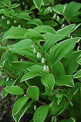 Variegated Solomon's Seal (Polygonatum odoratum 'Variegatum') at Peck's Green Thumb Nursery