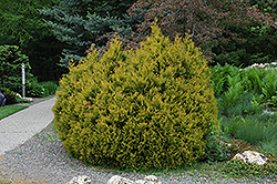 Rheingold Arborvitae (Thuja occidentalis 'Rheingold') at Peck's Green Thumb Nursery