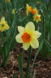 Fortissimo Daffodil (Narcissus 'Fortissimo') at Peck's Green Thumb Nursery