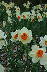 Kissproof Daffodil (Narcissus 'Kissproof') at Peck's Green Thumb Nursery