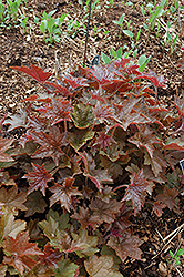 Palace Purple Coral Bells (Heuchera micrantha 'Palace Purple') at Peck's Green Thumb Nursery