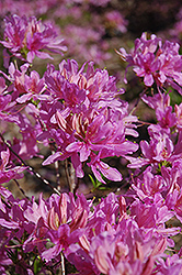 Orchid Lights Azalea (Rhododendron 'Orchid Lights') at Peck's Green Thumb Nursery