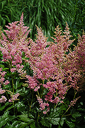 Amethyst Astilbe (Astilbe x arendsii 'Amethyst') at Peck's Green Thumb Nursery