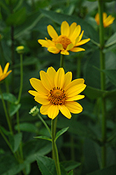 False Sunflower (Heliopsis helianthoides) at Peck's Green Thumb Nursery