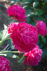 Paul Wild Peony (Paeonia 'Paul Wild') at Peck's Green Thumb Nursery