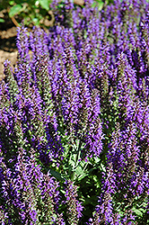 Marcus Sage (Salvia nemorosa 'Marcus') at Peck's Green Thumb Nursery