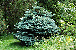 Globe Blue Spruce (Picea pungens 'Globosa') at Peck's Green Thumb Nursery