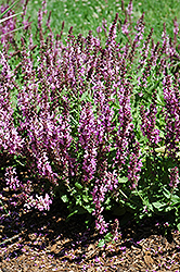 Rose Queen Sage (Salvia nemorosa 'Rose Queen') at Peck's Green Thumb Nursery