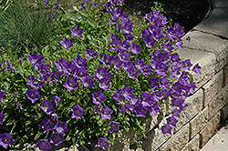 Blue Clips Bellflower (Campanula carpatica 'Blue Clips') at Peck's Green Thumb Nursery