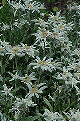 Alpine Edelweiss (Leontopodium alpinum) at Peck's Green Thumb Nursery