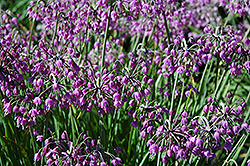 Nodding Onion (Allium cernuum) at Peck's Green Thumb Nursery