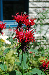 Jacob Cline Beebalm (Monarda 'Jacob Cline') at Peck's Green Thumb Nursery