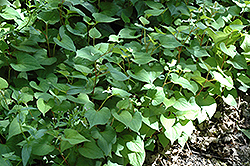 Chameleon Plant (Houttuynia cordata) at Peck's Green Thumb Nursery