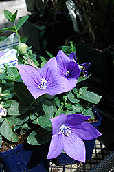Astra Blue Balloon Flower (Platycodon grandiflorus 'Astra Blue') at Peck's Green Thumb Nursery