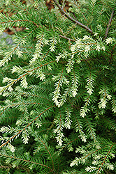 Moon Frost Hemlock (Tsuga canadensis 'Moon Frost') at Peck's Green Thumb Nursery