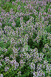 Arctic Wooly Thyme (Thymus praecox 'var. arcticus') at Peck's Green Thumb Nursery