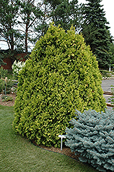 Sunkist Arborvitae (Thuja occidentalis 'Sunkist') at Peck's Green Thumb Nursery
